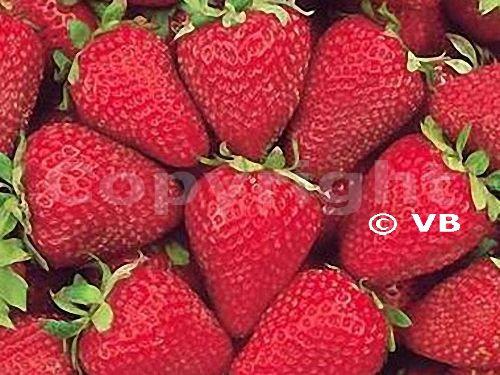 Jahoda - 'Selva' - Ovocná škôlka - STAPE VAJDA s.r.o.