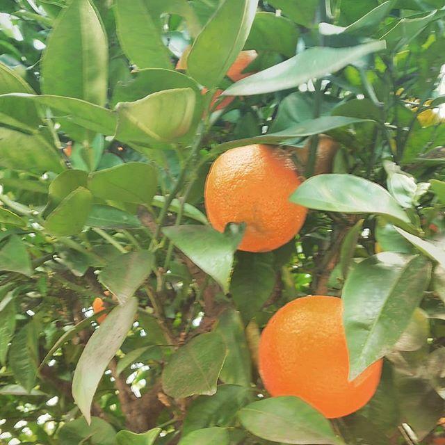 橙って本当にだいだい色 たわわに実っています