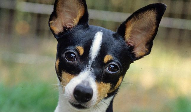 So this is my rescue dogs breed!    Everything you want to know about Toy Fox Terriers, including grooming, training, health problems, history, adoption, finding a good breeder, and more.
