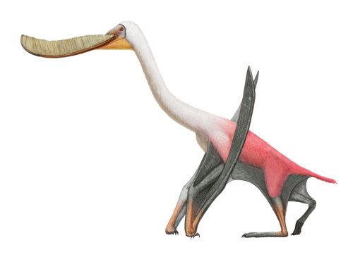 Pterodaustro guinazui | A Dinosaur A Day It lived about 105 million years ago, in the Albian age of the Early Cretaceous, and is known from both the Lagarcito Formation of Argentina, and the Santa Ana Formation of Chile. It had a wingspan of about 2.5 meters long, making it fairly small for a Cretaceous pterosaur, but that really doesn't matter given its strangeness. It was a filter feeder in the extreme, with an extremely long jaw with ridiculous numbers of extremely tiny teeth