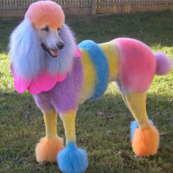 Poodle- rainbow   poodles and puppies   Pinterest ...