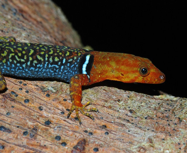 Male collared gecko (Gonatodes concinnatus) Amphibians