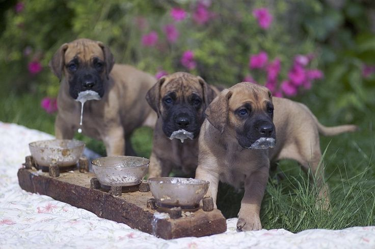 Brown Great Dane Puppies Wallpaper | Animals | Pinterest ...  Brown Great Dan...