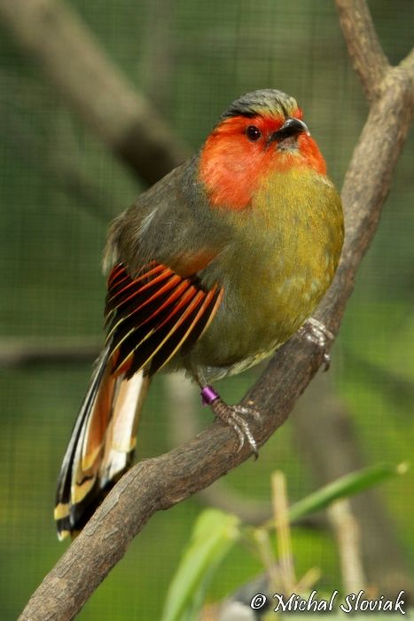 Liocichla ripponi - Scarlet-faced Liocichla, now a member of the Laughingthrush family