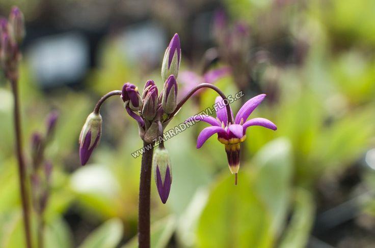 Dodecatheon meadia - boží květ zahradní