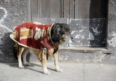 Old dog, pet in their best clothes walking down the street