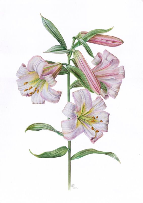 """Orchid, Cattley Hybrid. Colored pencil, 11x15"""" on bristol stock."""