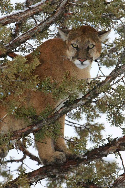 El puma, león de montaña, león o pantera (Puma concolor) El puma come cualquier animal que pueda capturar, desde insectos a los grandes ungulados. Al igual que los demás felinos, se trata de un carnívoro obligado. Sus presas más importantes son las diversas especies de venado, en particular en América del Norte: el ciervo mula, el venado de cola blanca, e incluso los grandes alces son cazados por el puma.