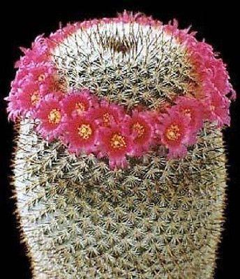 Mammillaria Elegans Exotic Pincushion Flowering cacti RARE Cactus Seed 100 Seeds   eBay
