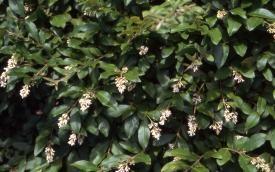 Oleaceae. Amur Privet (Ligustrum amurense) - tolerant hedge, doesn't mind shearing Unpleasant smelling white flowers, but needs well drained soil.