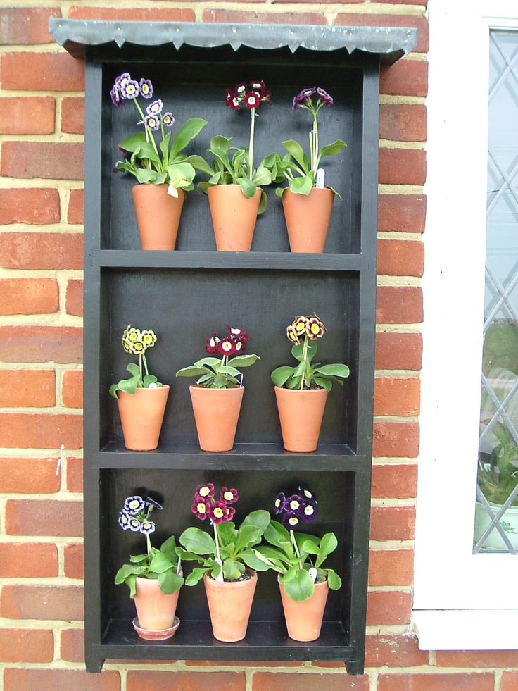 Auricula Theatre. Auriculas prefer the cool of outside, but not the wet. The show varieties, in particular, which have the floury covering to their flowers & leaves, immediately mark with a drop of water; and they hate baking sun.That's why they are traditionally grown in the shelter of a theatre, half outside, half in.  Miners and weavers in the North of England used to carry their Auricula Theatres on their backs to shows. The plants were much prized and the displays meticulously prepared.