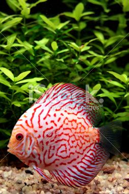 Best 25 discus fish ideas on pinterest colorful fish for Live discus fish for sale