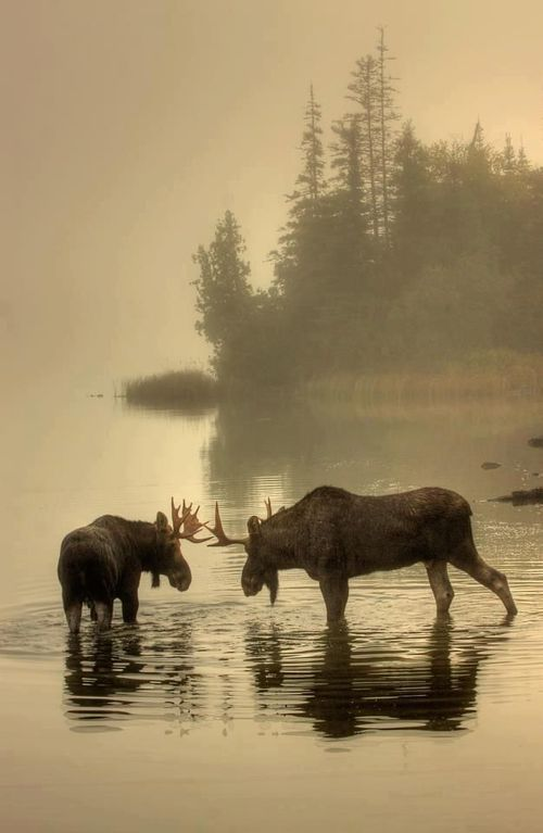2 Moose in foggy lake autumn