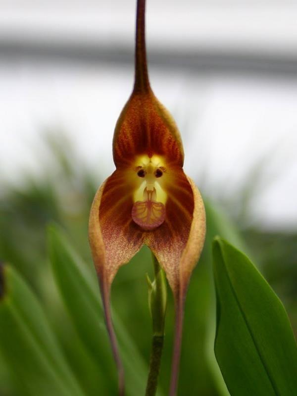 Monkey Orchid (Dracula simia) - Bientôt disponible chez AlsaGarden : L'Orchidée Singe