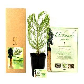 Geschenkideen: Mammutbaum-Setzling mit Urkunde