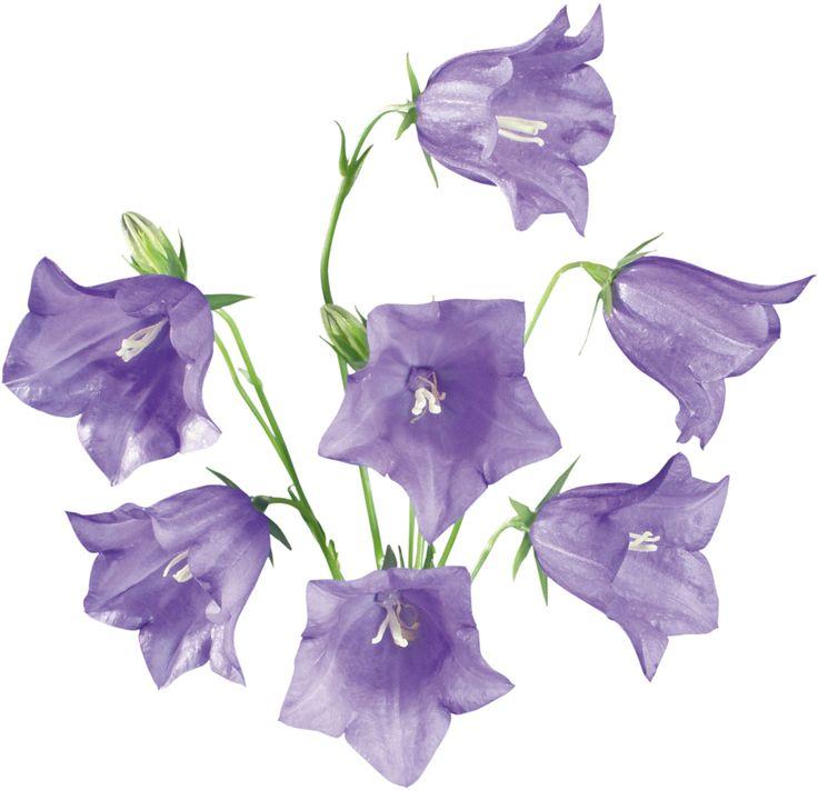 фиолетовые / сиреневые цветы и растения - по цветам - Кира-скрап ...