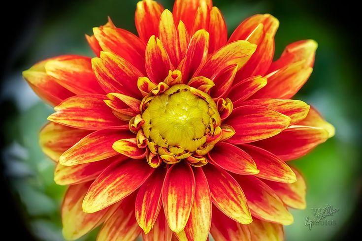 Heute ist Wieverfastelovend! ??  Habt Alle einen fröhlichen Donnerstag und  passt …    Heute ist Wieverfastelovend! ????  Habt Alle einen fröhlichen Donnerstag und  passt auf Eure Krawatten auf! ?✂️?  .  @koln_de  @koeln_de  .  .  .  #flower  #flowers  #garden  #makro  #macro  #fotografie  #photography  #flowerstagram  #photooftheday  #pictureoftheday  #bestoftheday  #nature  #vita  #life  #vie  #leben  #flowersofinstagram  #blumenfotografie  #flowerpower  #makrofoto  #makro_foto  #naturephotography  #macro_brilliance  #macrophotography  #macroworld  #top_macro  #wildlife_private  #makroworld  #makro_fd     Source