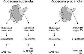 Los ribosomas son complejos macromoleculares de proteínas y ácido ribonucleico (ARN) presentes en todas las células (excepto en los espermatozoides[cita requerida]). Son los centros celulares de traducción que hacen posible la expresión de los genes. Es decir, se encargan de sintetizar proteínas a partir de la información contenida en el ADN, que llega transcrita a los ribosomas en forma de ARN mensajero (ARNm).