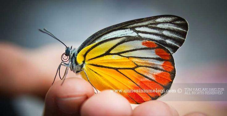 Çocuklarımız İçin İlginç Gerçekler Kelebeklerin Yaşamı | kelebek ömrü, kelebekler 1 gün mü yaşar, kelebeklerin ömrü kaç gündür, kelebek etkisi, Kelebekler ne kadar yaşar?  Kelebekler sadece 1 gün mü yaşar?  Kelebeklerin yaşam süresi ne kadardır?  Tırtıl nasıl kelebek olur?