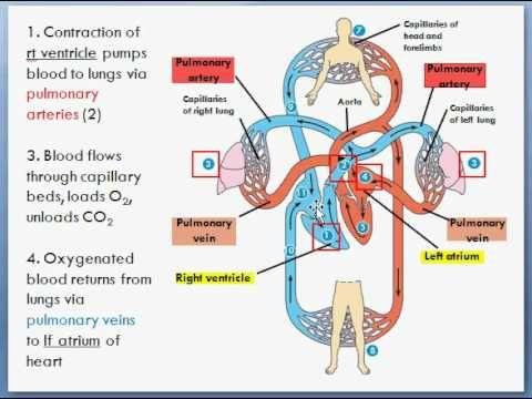 Anatomy Of The Respiratory System - Adrenal Fatigue: How ...
