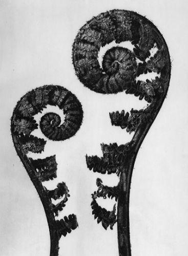 Aspidium filixmas, Common male fern, young unfurling fronds, 4x  by Karl Blossfeldt (1865-1932)