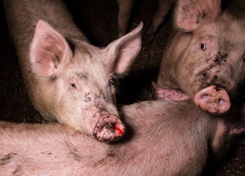 Uusia kuvia luomusikalasta - eläinten olot surkeat | Oikeutta eläimille