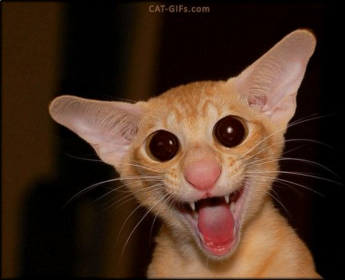 """ARTistic Cat GIF • Angry Cat with big ears: """"I said: NO PAPARAZZI!"""""""