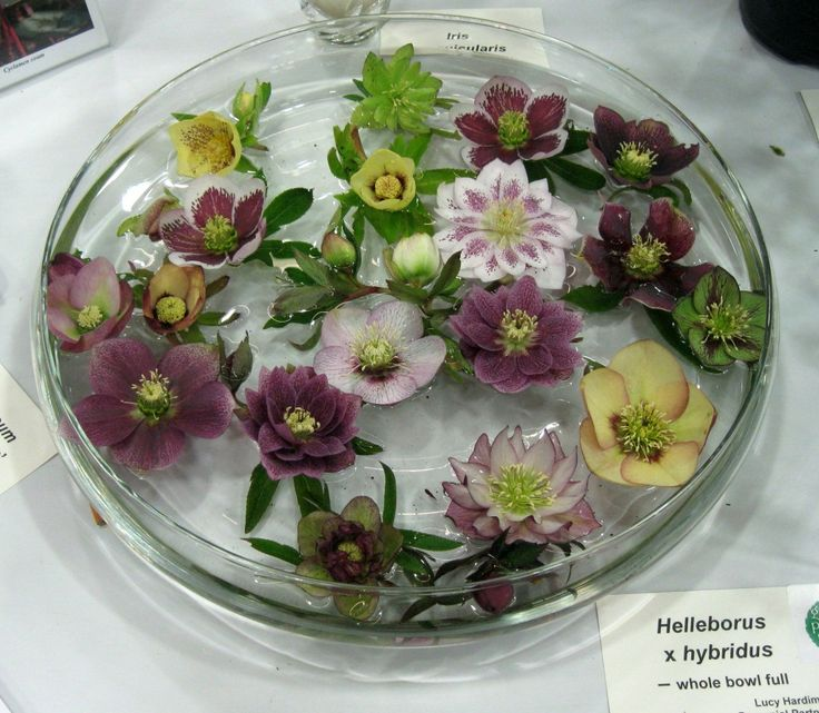Here Is A Beautiful Bowl Of Hellebores At The Yard, Garden And Patio Show In
