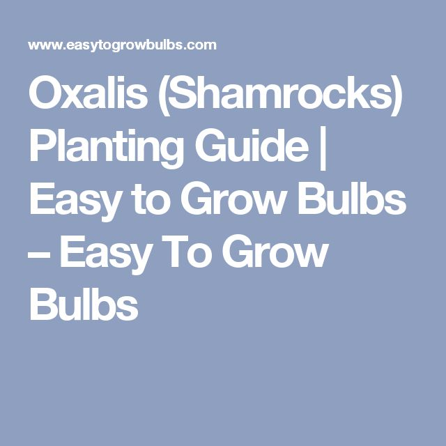 Oxalis (Shamrocks) Planting Guide | Easy to Grow Bulbs – Easy To Grow Bulbs
