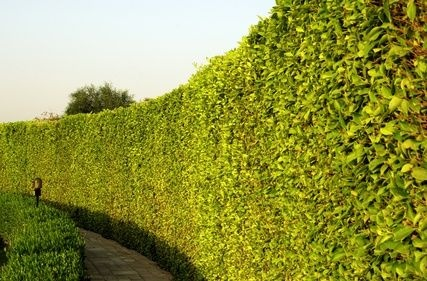 The Best Fast Growing Trees For A Natural Fence Finca