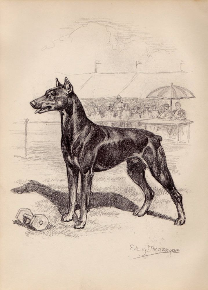 1950s Vintage DOBERMAN Dog Print Doberman Pet Print Gallery Wall Art 502