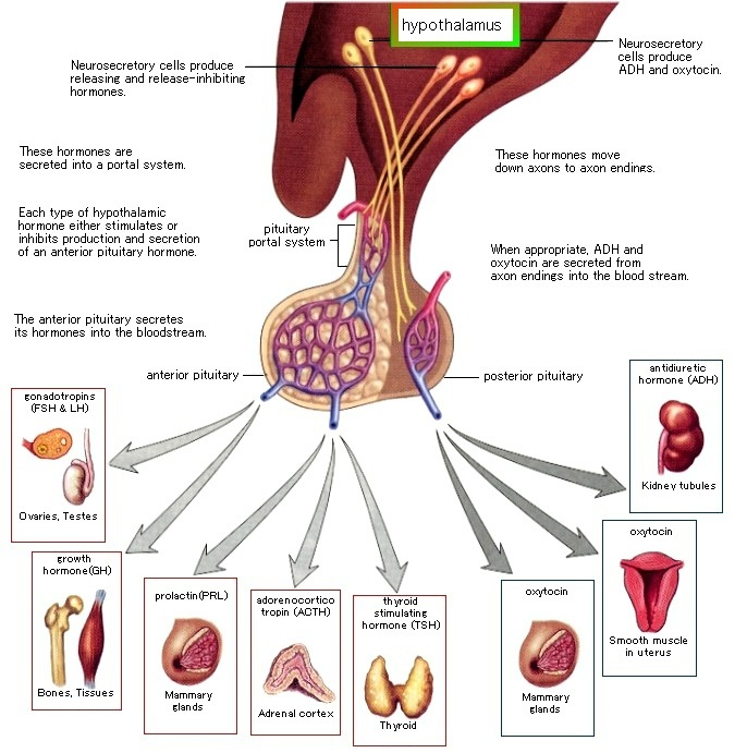 The hypothalamic-pituitary axis is intricately involved in ...  The hypothalami...
