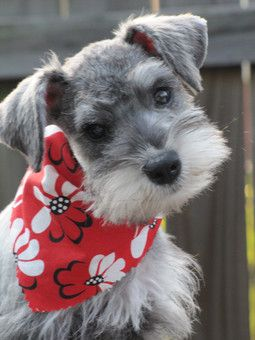Aww what an adorable mini schnauzer puppy❤️