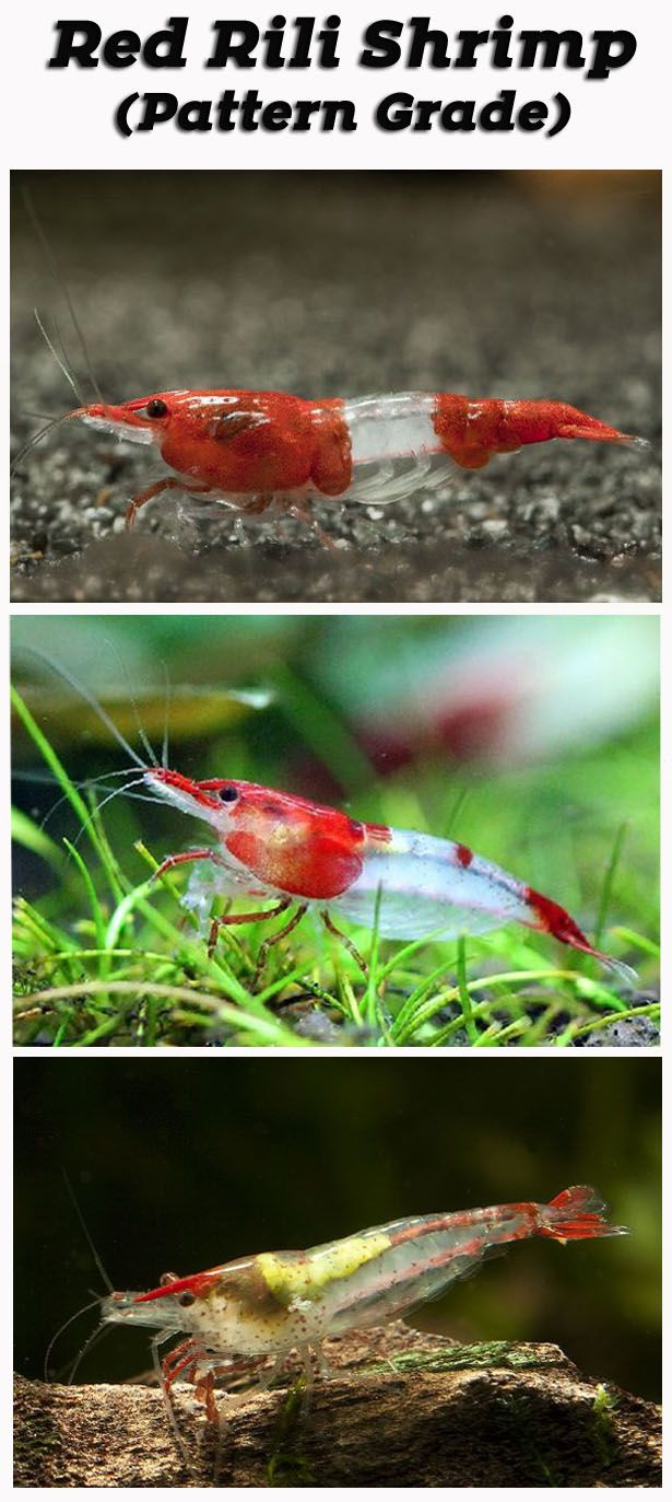 Rili Red Cherry Shrimp Grading Red Cherry Shrimp Cherry Shrimp Pet Shrimp
