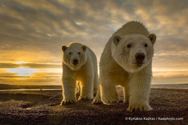 Polar Bear Mom and Her Cub.