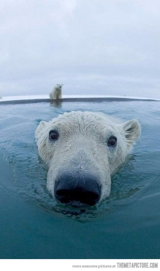 Curious polar bear is curious…