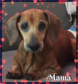 Florida - Still available 12/12/17,11/29/17 - Mama  - LOCATED @ GetAlong Dachshund Rescue