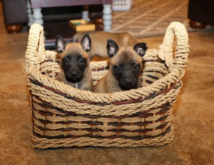 belgian malinois puppy for sale Auburndale - Puppies for Sale