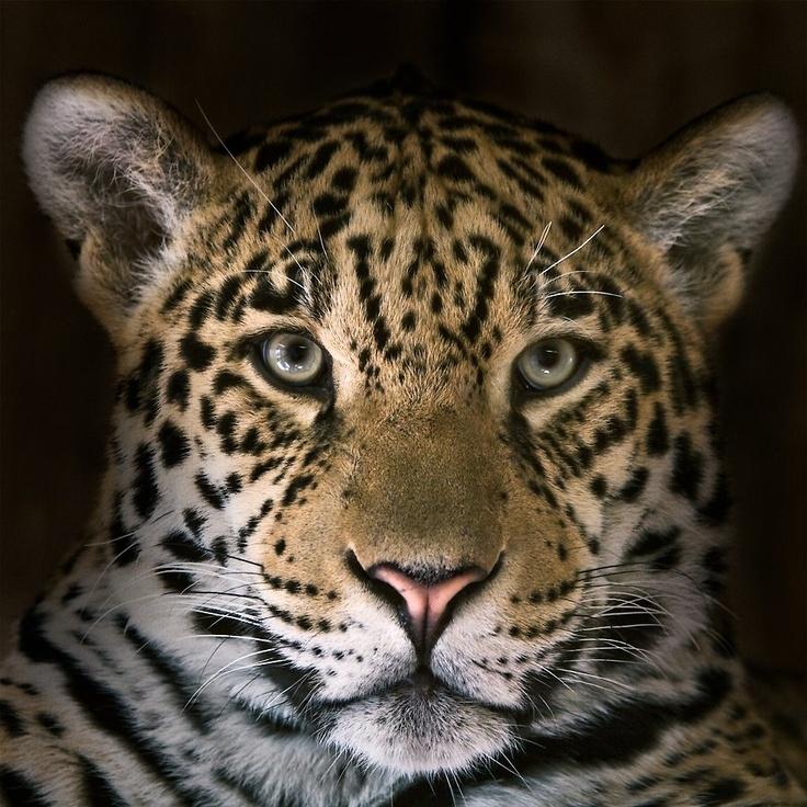 Yellow Jaguar Animal: 133 Best Images About Paraguay On Pinterest
