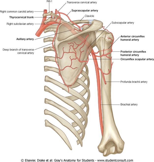 Artery Disorders Dislocated Shoulder Google Search Health