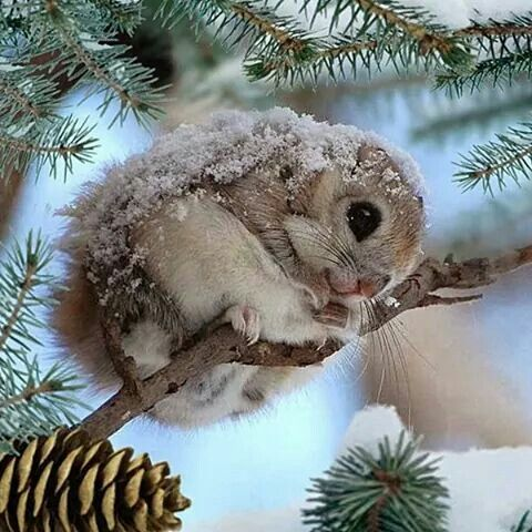 Japanese Dwarf Flying Squirrel ~ these little guys are so cute!
