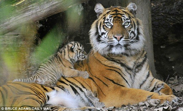 All in a day's work: One of the Sumatran Tiger cubs rests on his mother