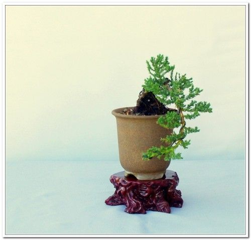 An Introduction To Styling The Juniper Procumbens   Part One   Dallas Bonsai  Blog