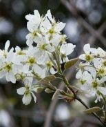 Autumn Brilliance® Apple Serviceberry (Amelanchier x grandiflora 'Autumn Brilliance')
