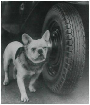 Frenchie 1927 Badger Dog Collar