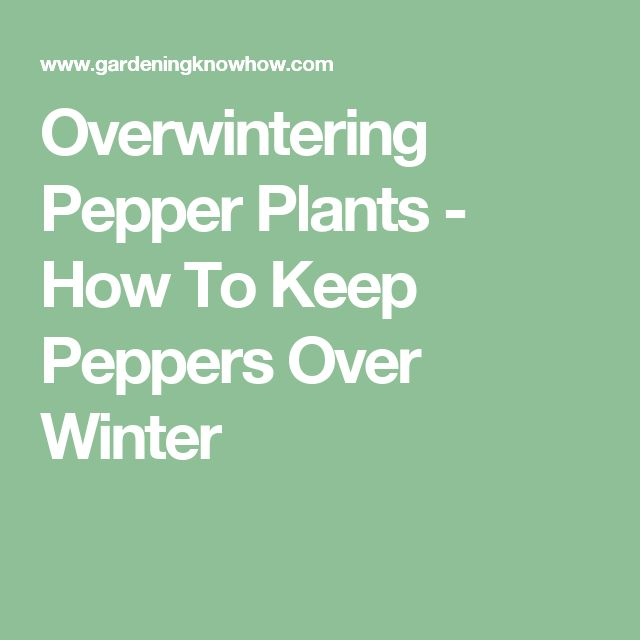 Overwintering Pepper Plants - How To Keep Peppers Over Winter