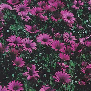 Garden Crossings Online Garden Center Offers A Large Selection Of African  Daisy Plants. Shop Our Online Perennial Catalog Today.