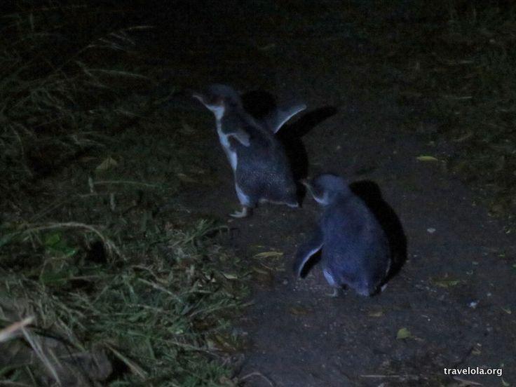 Little penguins in Bicheno in Tasmania, Australia.  #travel #tasmania #wildlife   Find more content and associated blog posts at adventure travel blog www.travelola.org. Image © 2014 Finola Wennekes.
