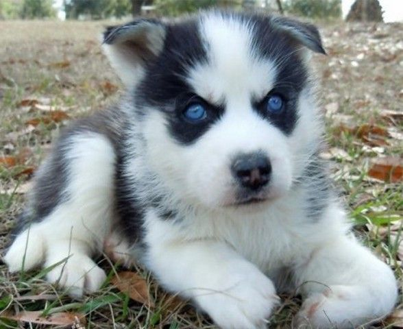 teacup blue eyed husky Google Search Things to Wear
