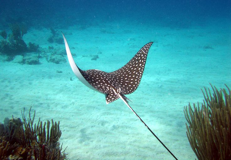 SPOTTED STING RAY